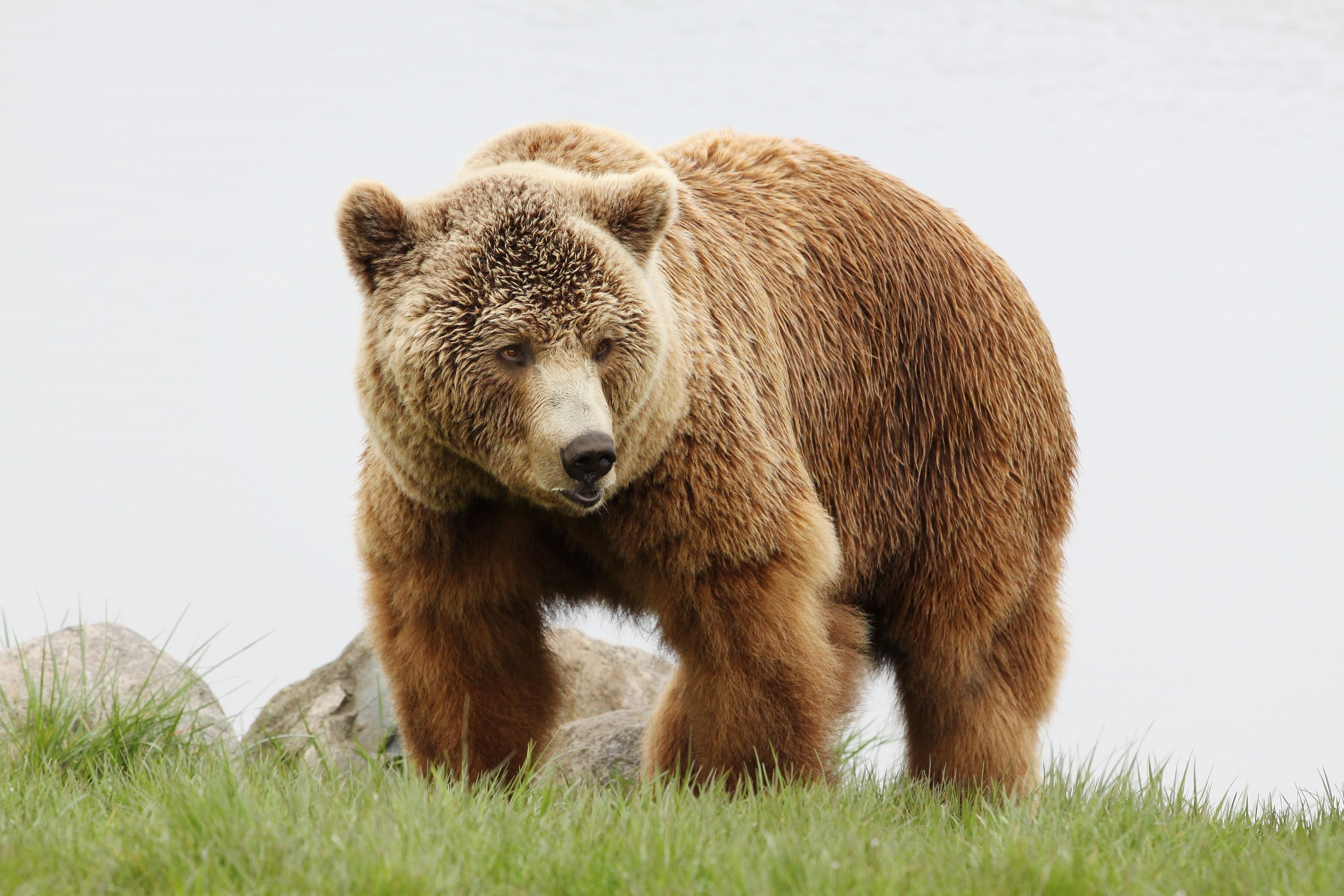 Brown bear in nature