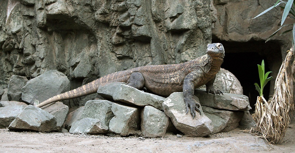 female Komodo Dragon