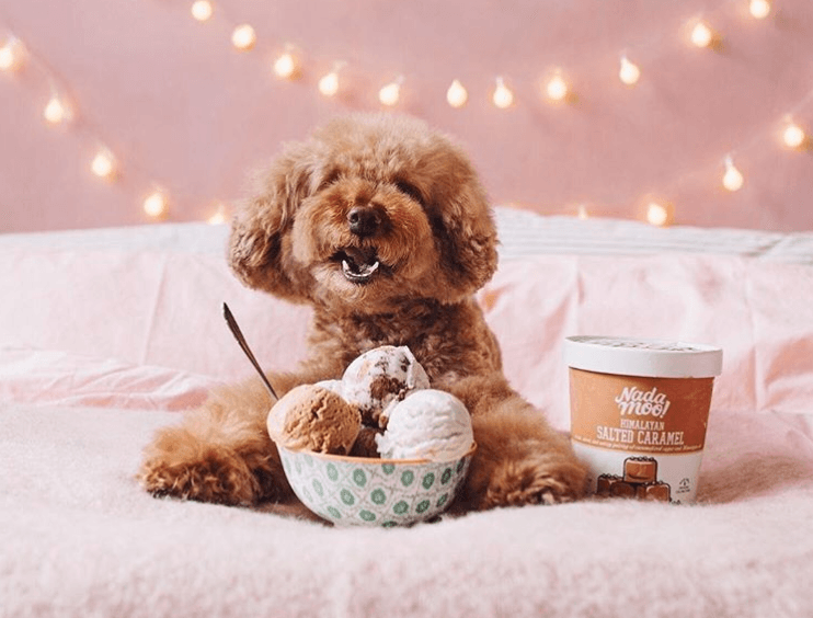 Cookie the mini poodle ice cream