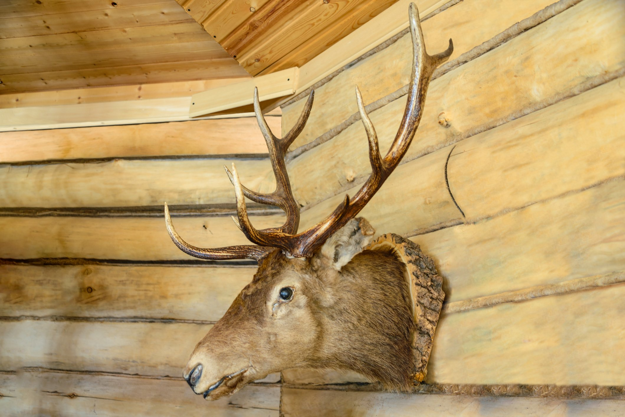 Deer head on the wall.