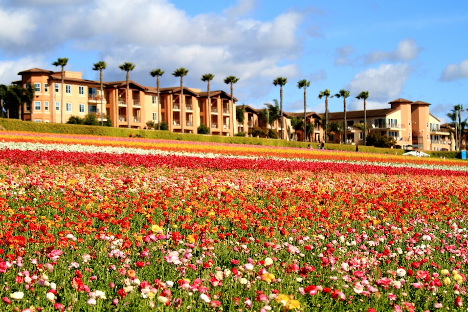 """Tha photo of Carlsbad Flower Field, Carlsbad, Southern California"""