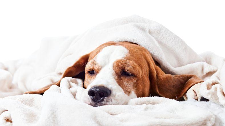sick dog under a blanket