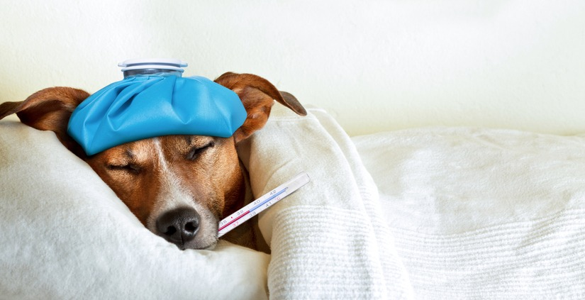 sick Jack Russell in bed with a thermometor in mouth and ice pack on his head