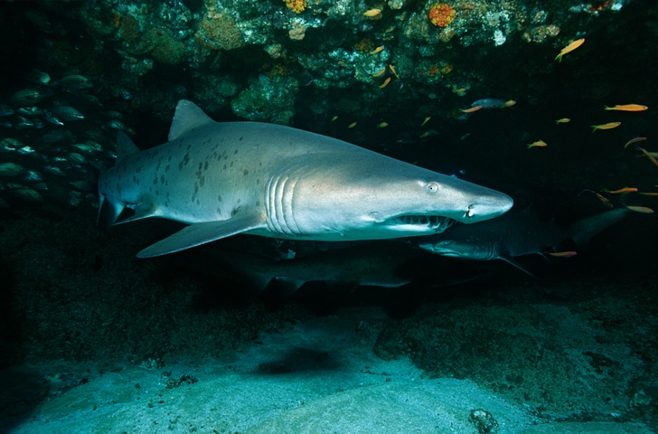 A sand tiger shark enjoys her solitude in a cave off the coast of South Africa