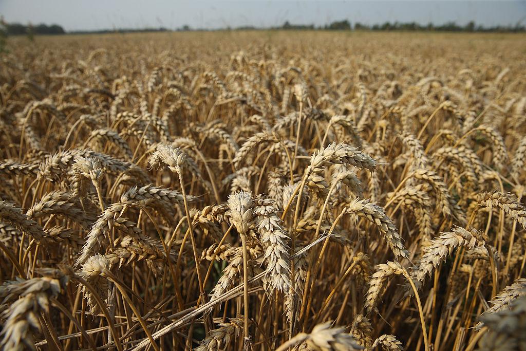 a field of golden wheat under a blue sky
