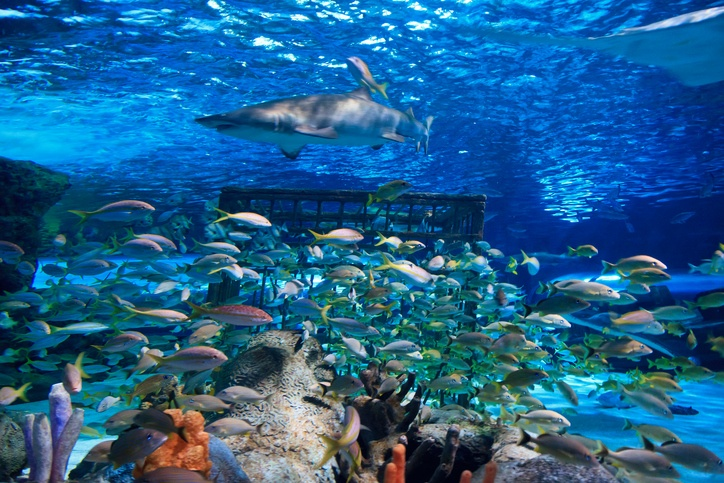 a sand tiger shark in a tank with other fish