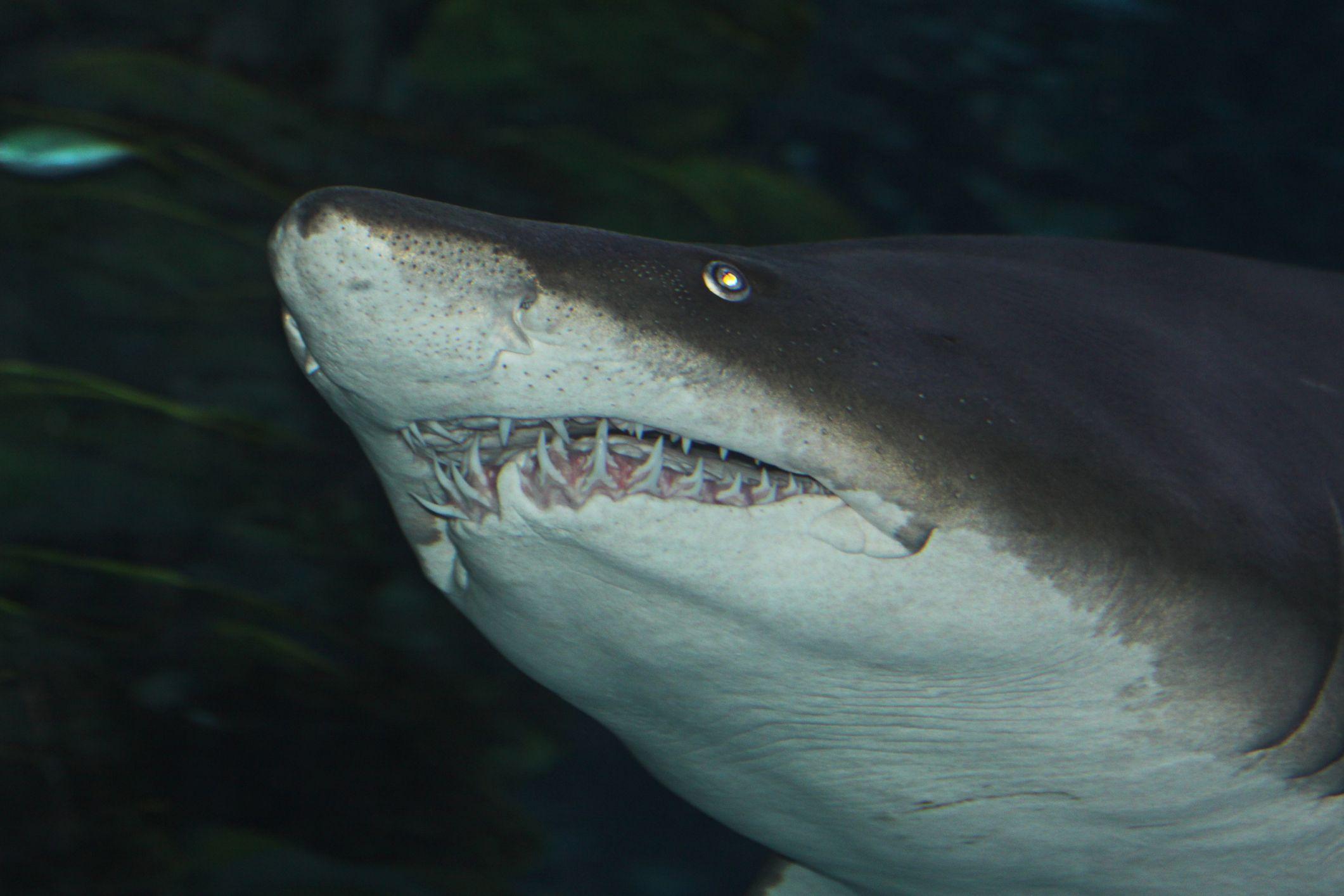 a close-up of sand tiger shark teeth