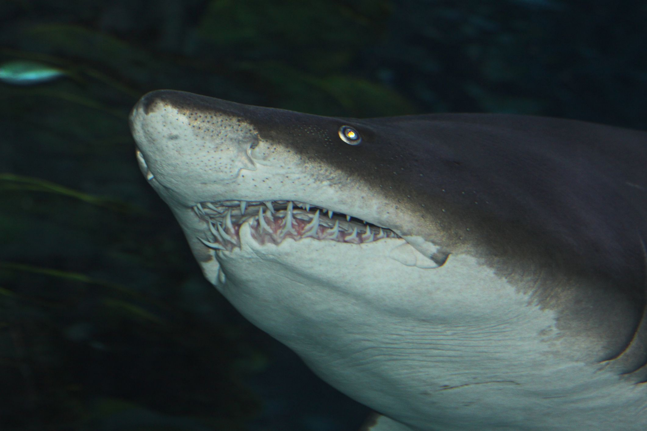 a close-up of sand tiger shark teeth