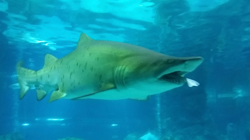 a female sand tiger shark eating her male tank mate