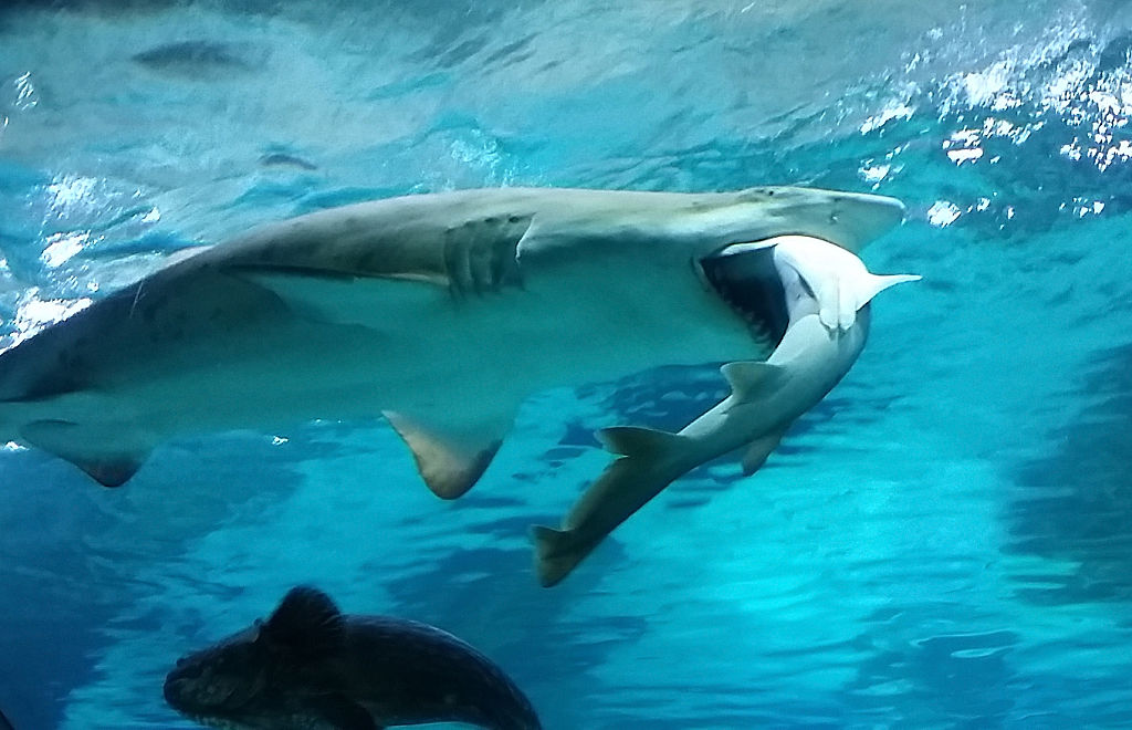 the female shark who ate the male shark at the aquarium
