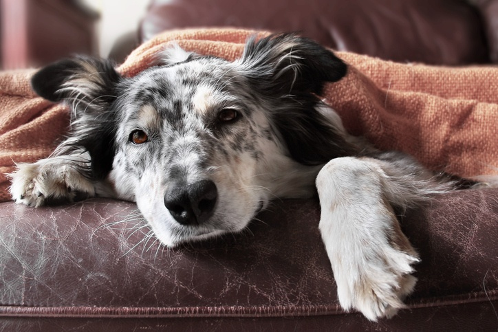border collie on a couch under a blanket