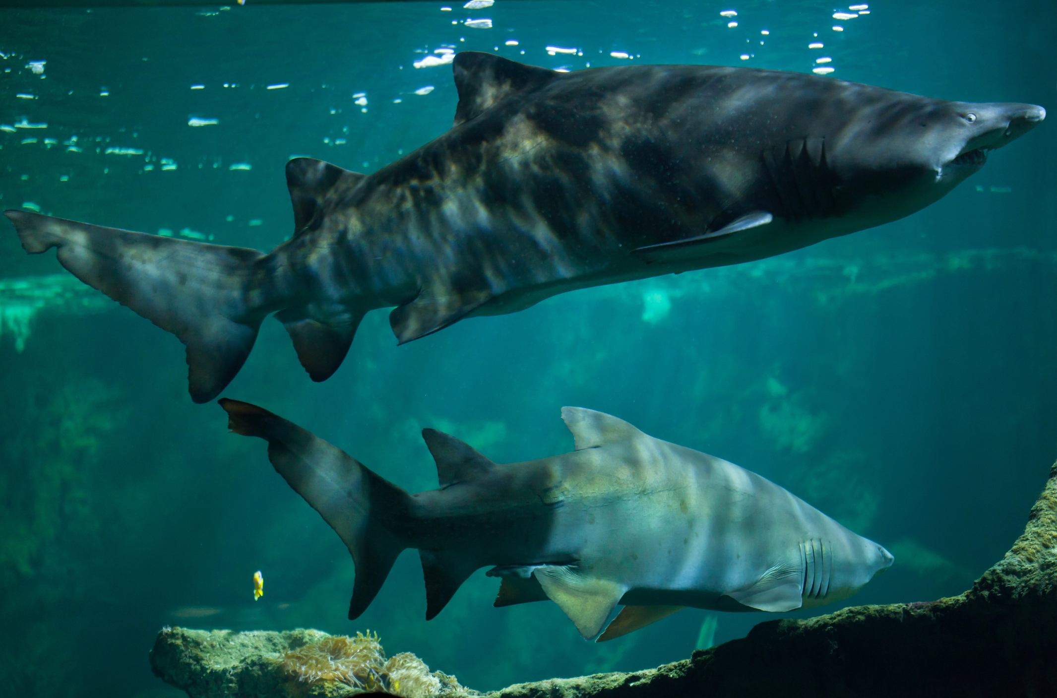 two sand tiger sharks in a tank