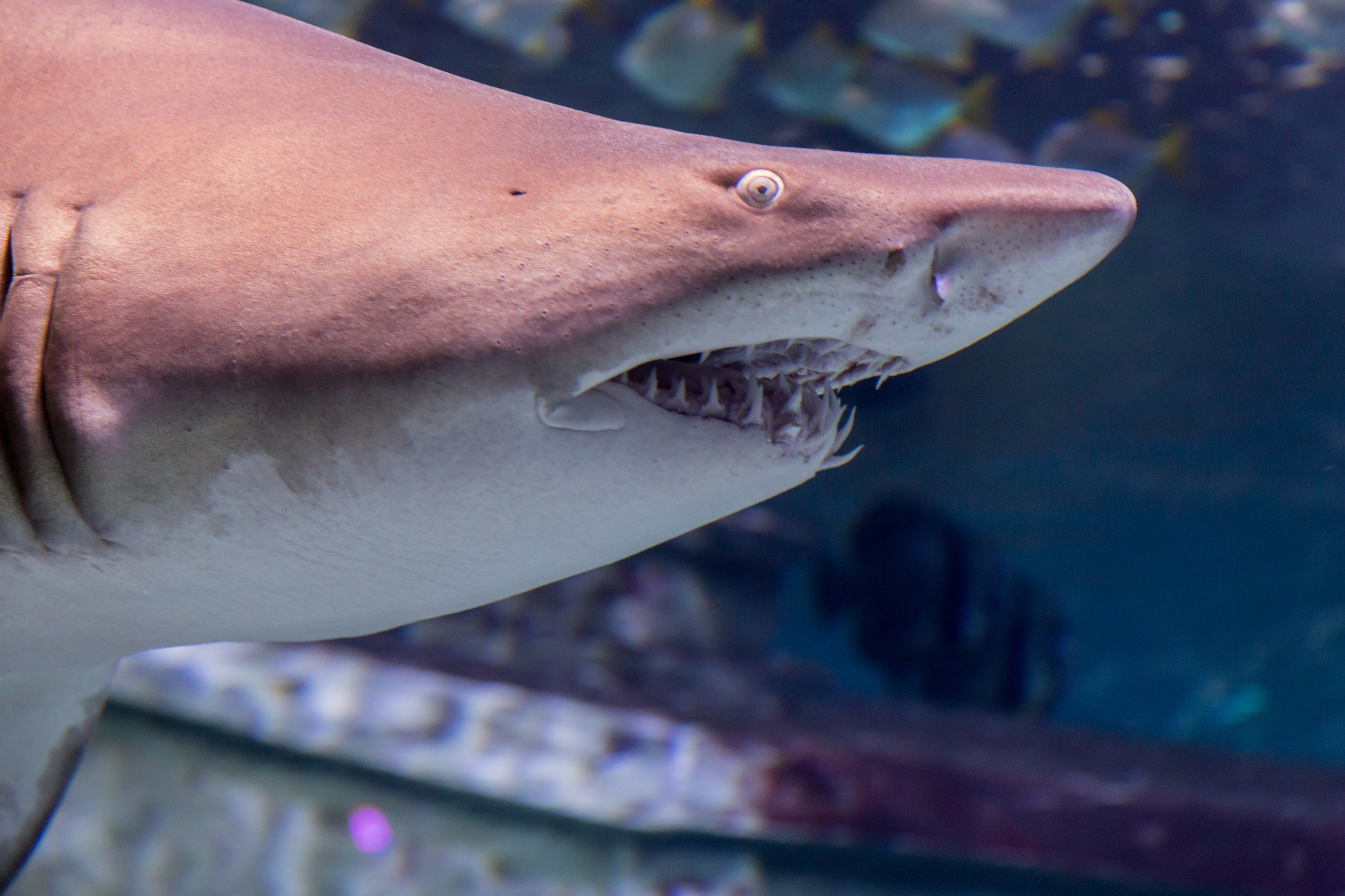 a close-up of a tiger shark face from the left