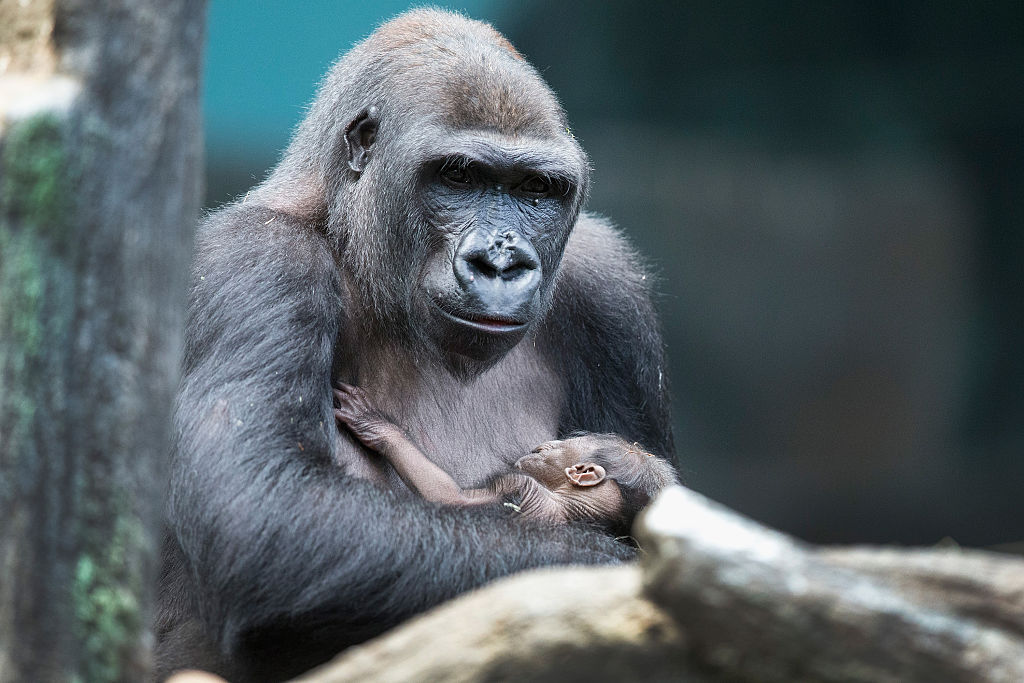 Baby Gorilla Draws Visitors To Chicago's Brookfield Zoo