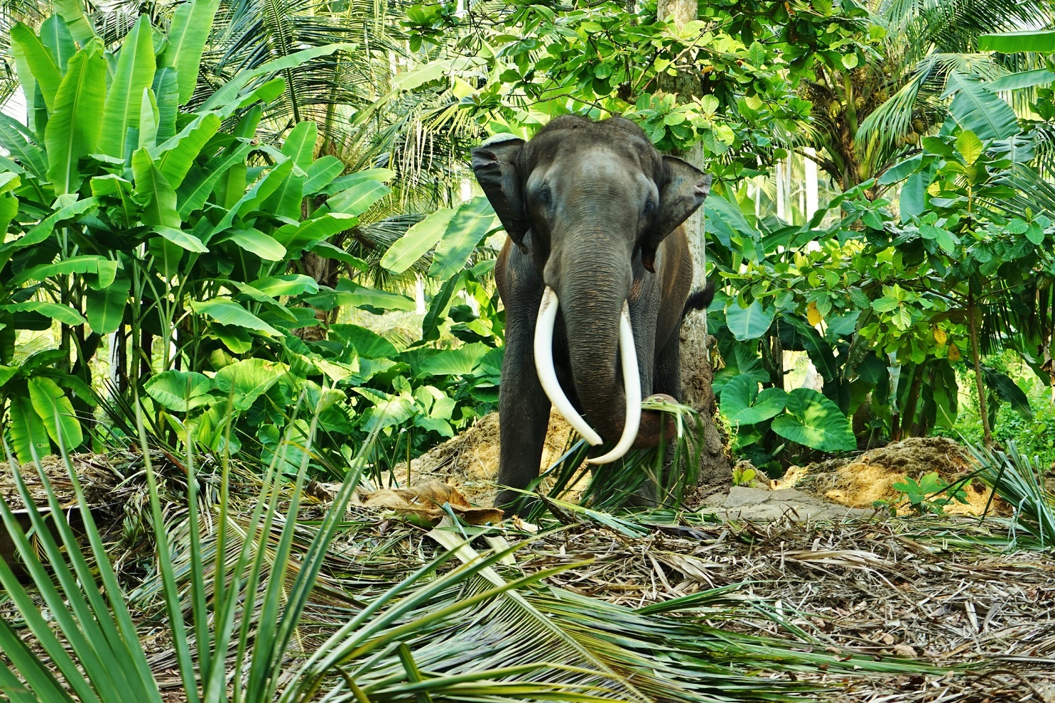 Adult male elephant with tusks in the forest in Sri Lanka