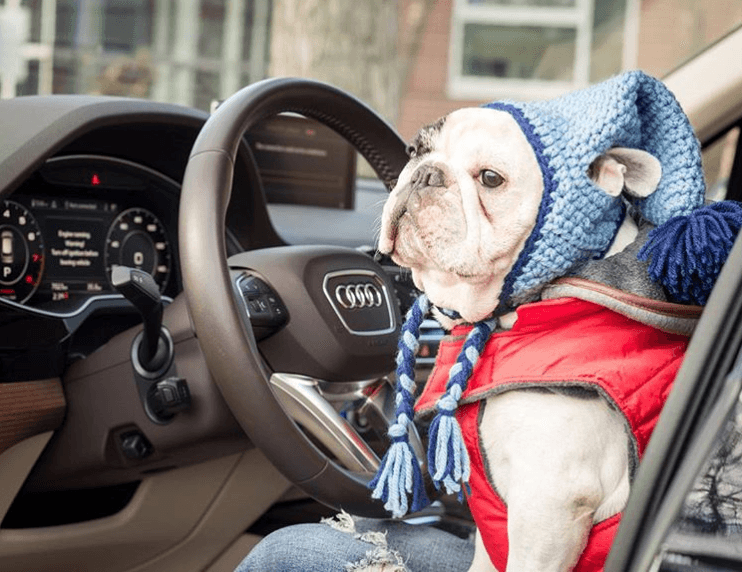 Manny the frenchie uber