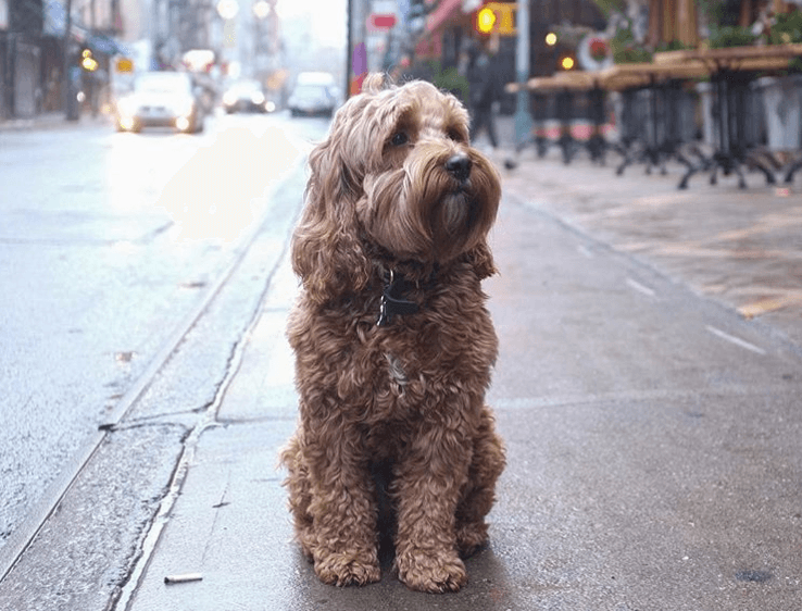 Parker the labradoodle in the rain