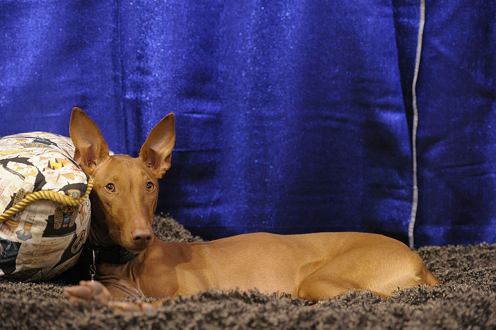 "Phaith, a Pharaoh Hound takes part in the second annual ""Meet the Breeds"""
