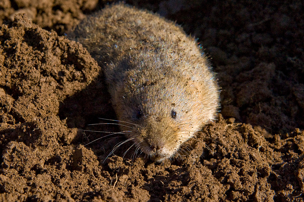 A photo taken on April 27, 2016 shows a water vole