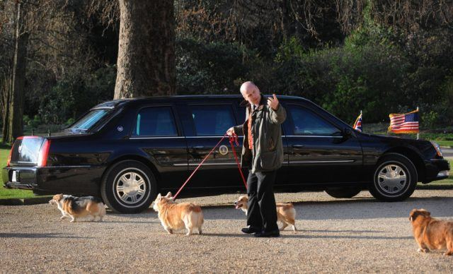 The queen's royal corgis go for a walk.