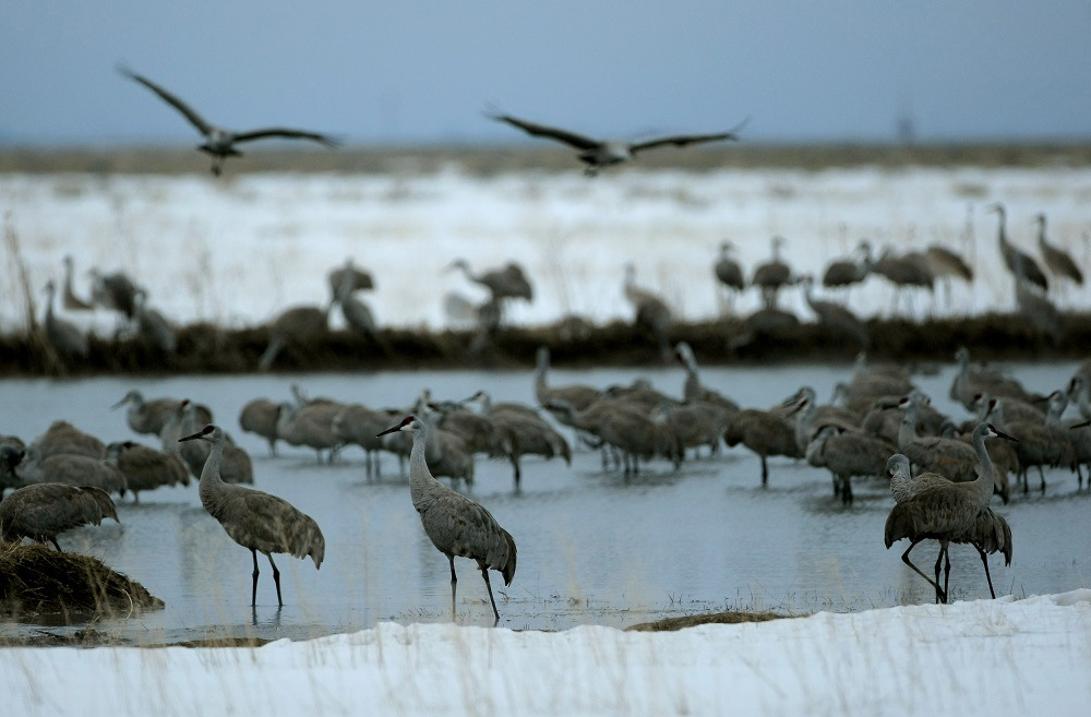 Sandhill Cranes fly in at sunset to roost for the night