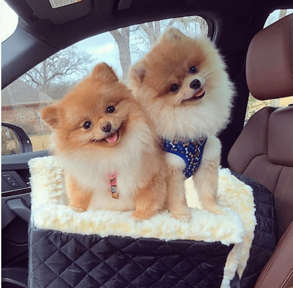 two pomeranians in a car seat