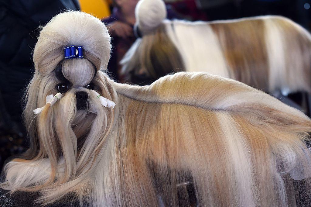 Westminster Dog Show Chihuahua