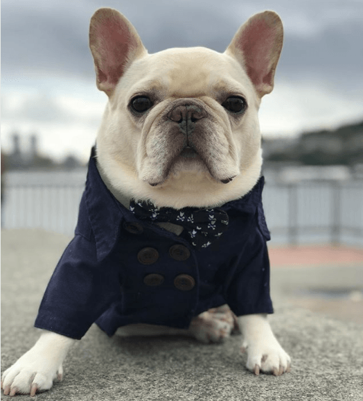 Sir Charles Barkley the Frenchie