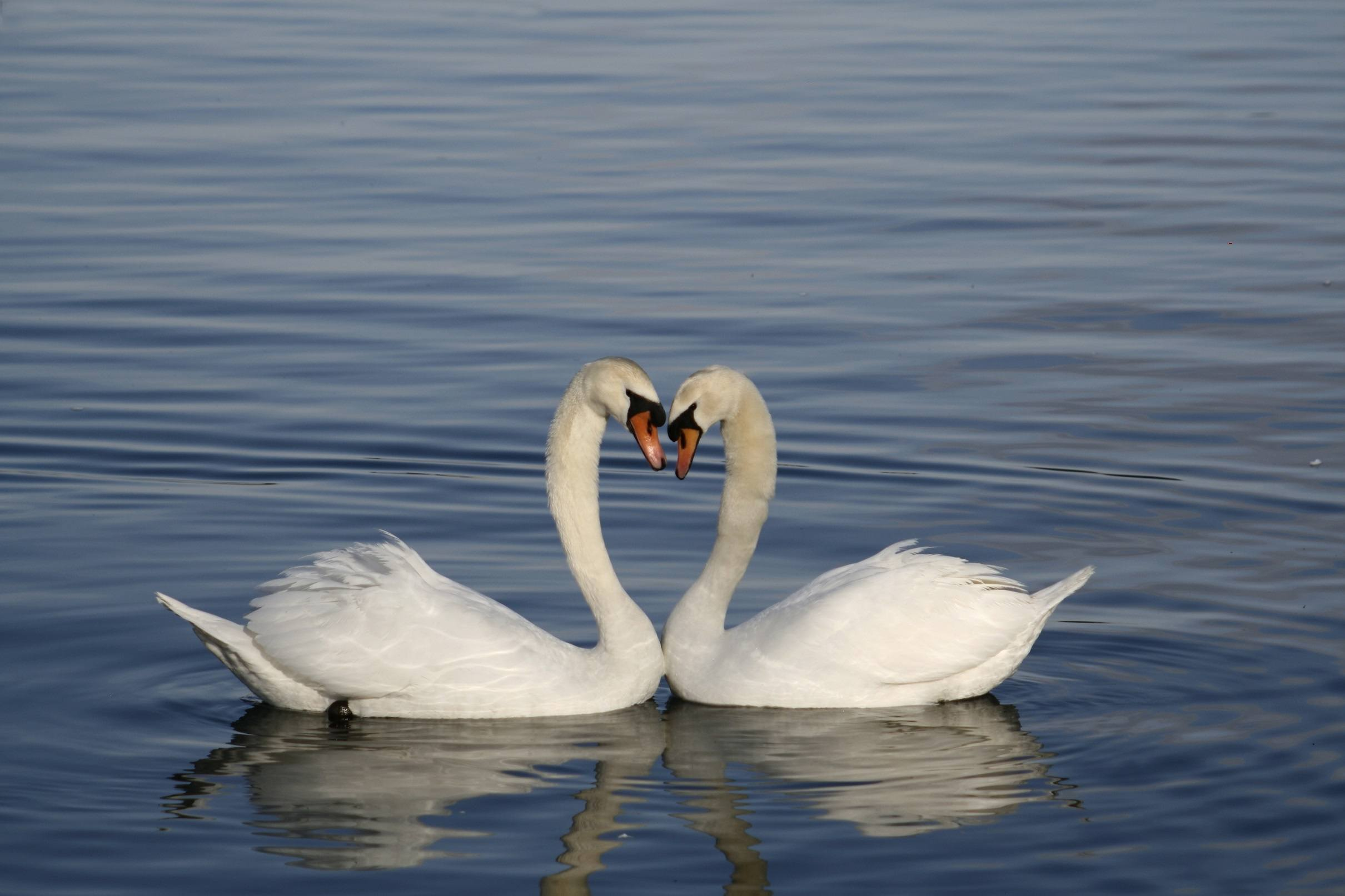 Swans with heads together