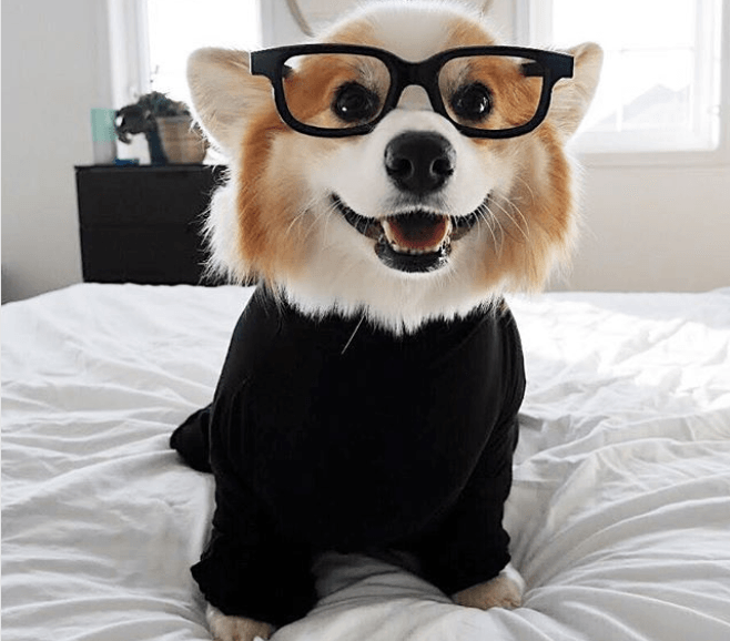 Tibby the corgi wearing glasses