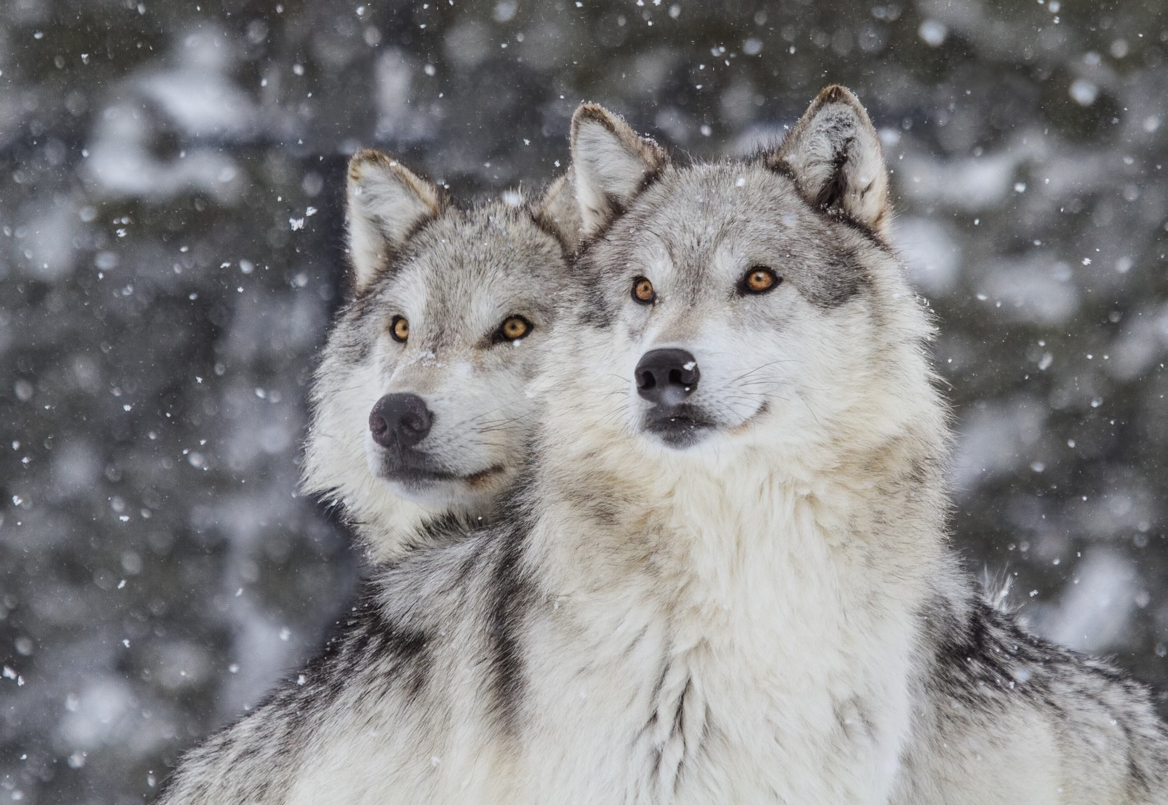 Wolves in Snow (Canus Lupus)