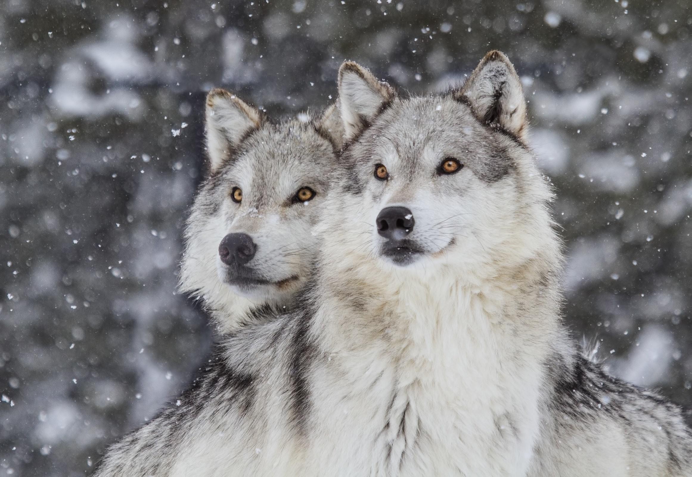 Wolves in Snow (Canus Lupus)
