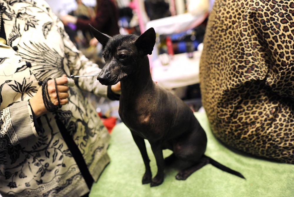 A Xoloitzcuintli during the 136th Westminster Kennel Club Annual Dog Show held at Madison Square Garden