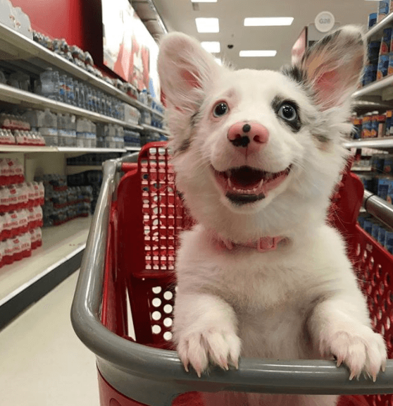 Zira the corgi at target