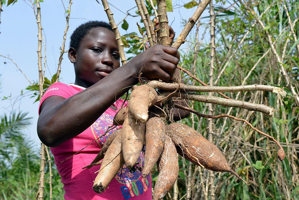 A woman holds manioc (or cassava) tubers in a plantation near Abidjan