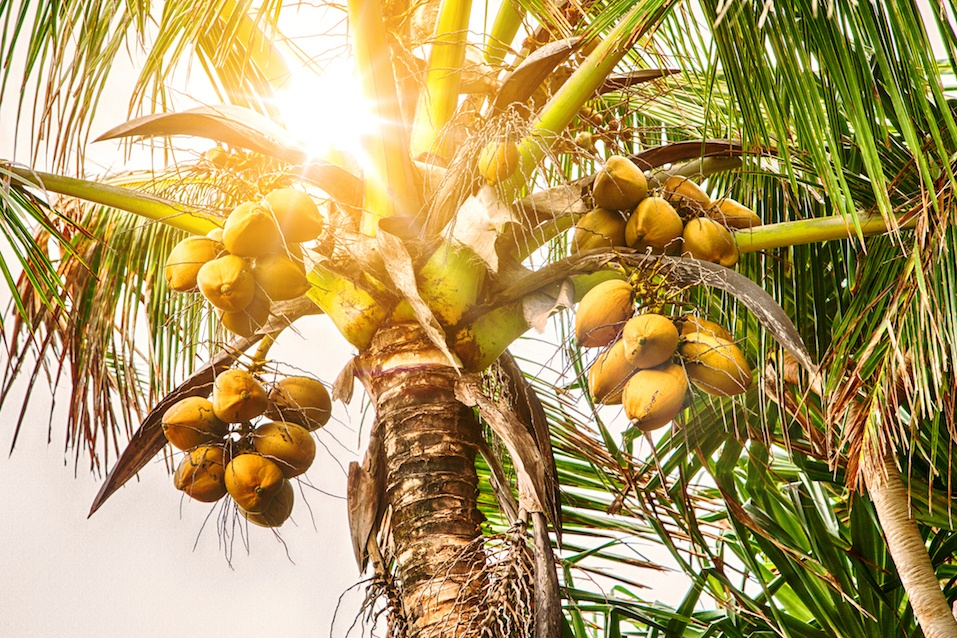 closeup of coconut tree with coconuts
