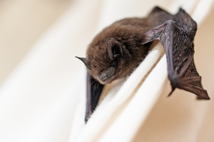 common pipistrelle (Pipistrellus pipistrellus) a small bat