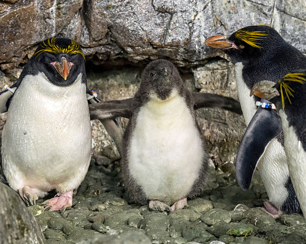 a one-month-old macaroni penguin chick stretches its flippers at SeaWorld San Diego Penguin Encounter