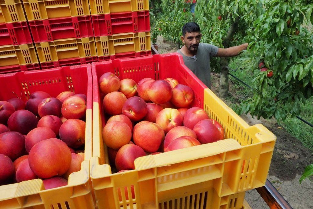 A worker of organic nectarines production