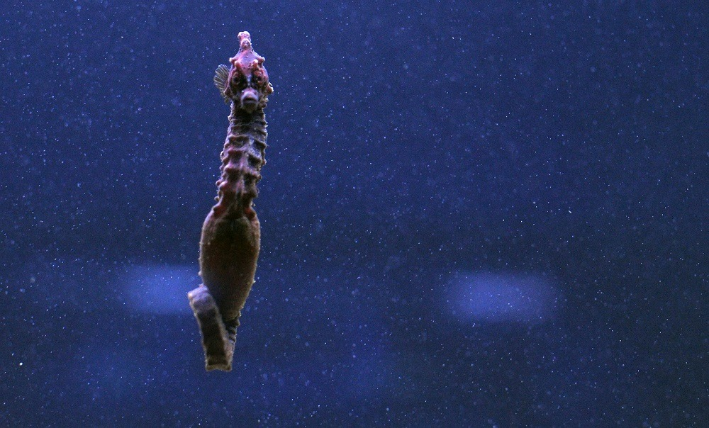 A picture shows a sea horse in an aquarium