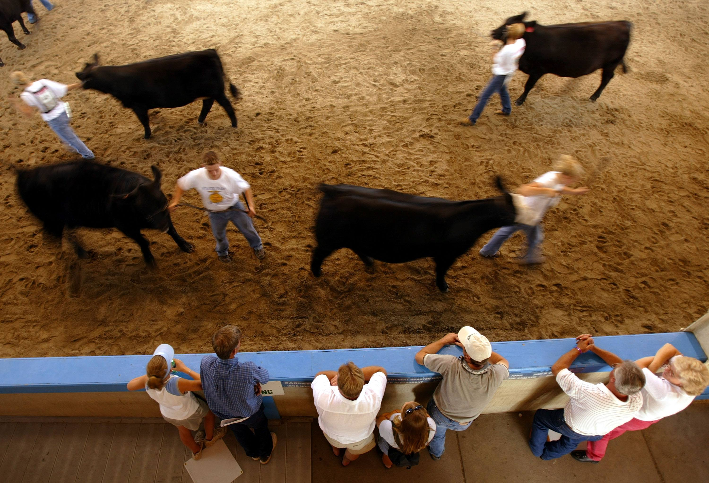 Teens parading cattle during 4-H event at the Iowa State fair