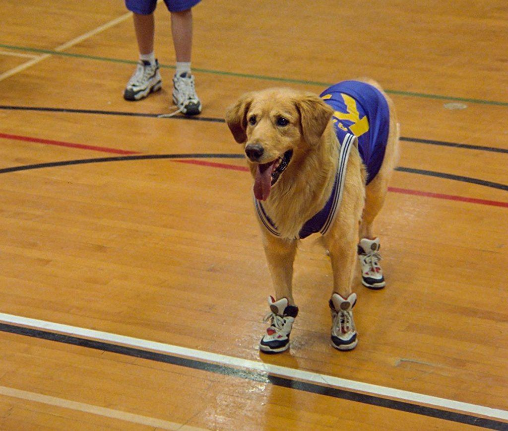 The golden retriever dog in Air Bud wears a basketball jersey