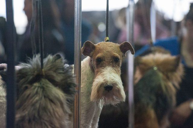 A wire fox terrier waits with other dogs in the grooming area.