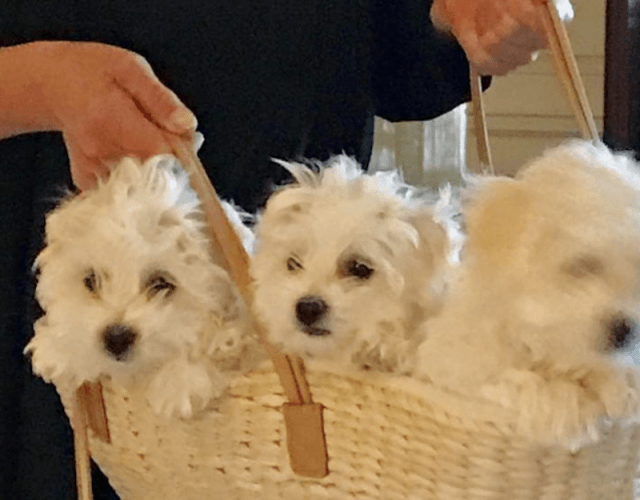 Barbara holding a basket of puppies.