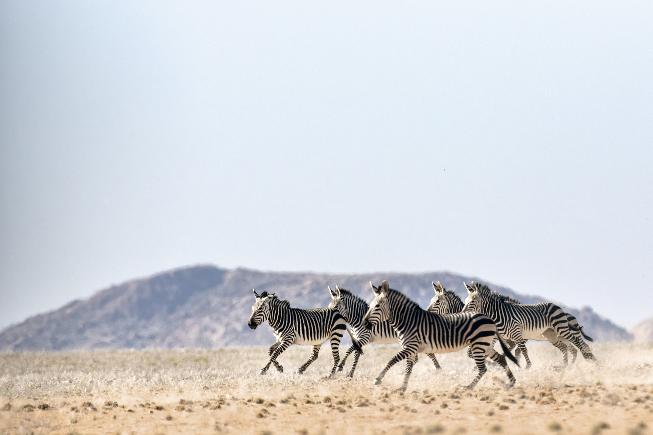 Haartmans Mountain Zebra