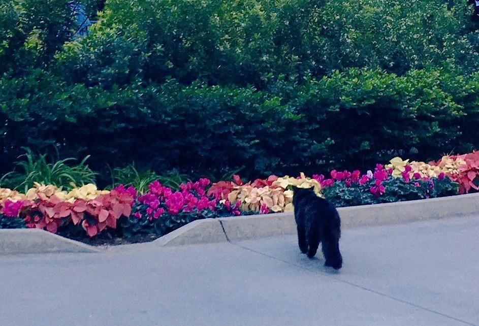 Cat of Disneyland