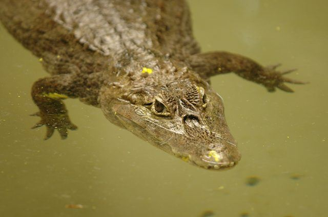 A endangered Chinese alligator