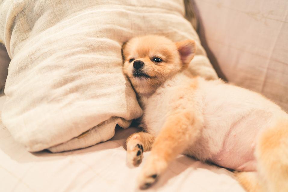 Cute pomeranian dog sleeping on pillow on bed