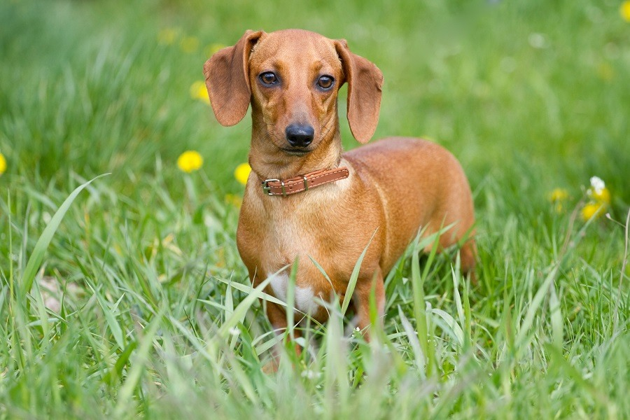 Beautiful dachshund