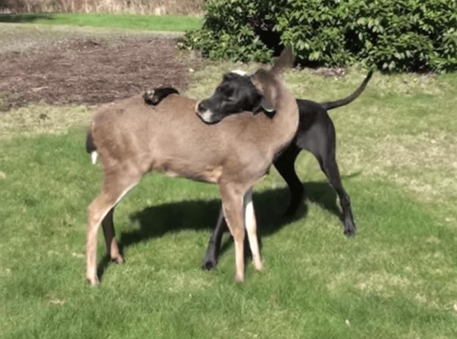 Deer and dog